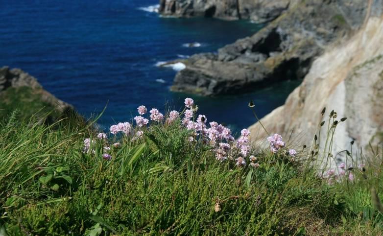 Sea_Pinks_Cornwall3_LR.JPG