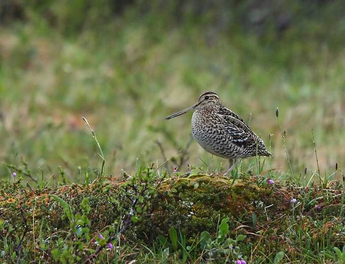 Great Snipe (Glyn Sellors)