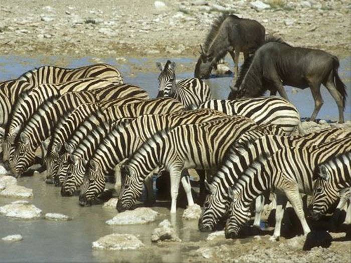 Burchell's Zebra and Wildebeest (Paul Stanbury)