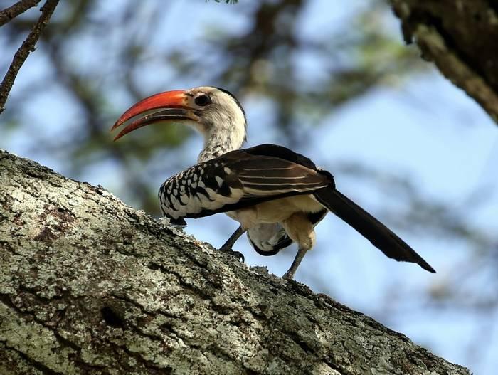 Red Billed Hornbill (Karen Malte Nielsen)