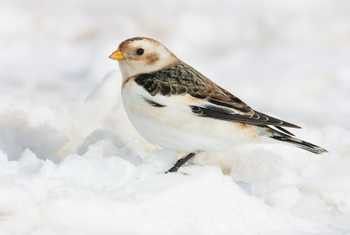 Snow Bunting Plectrophenax nivalis foraging in snow at Lecht Ski Centre, Scotland, UK in March.