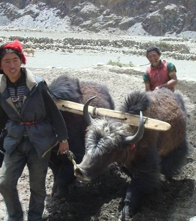 Ploughing with yaks near Tinje village