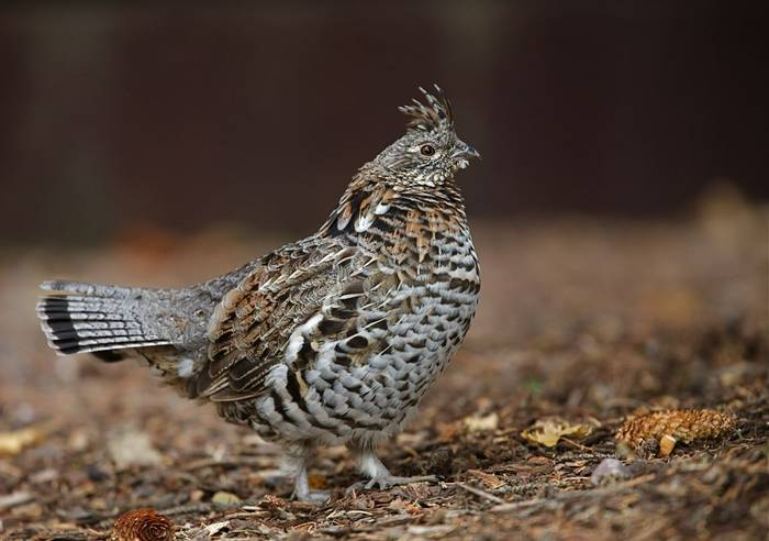 Ruffed Grouse, USA Shutterstock 115343401