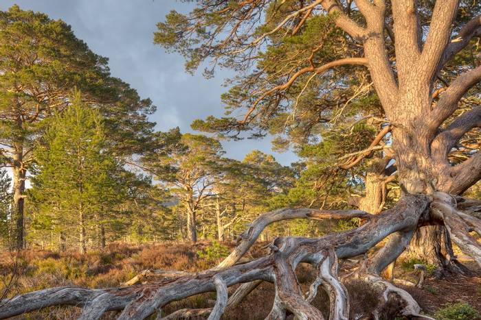 Scots Pines (Pinus sylvestris) (© Robert Harvey)