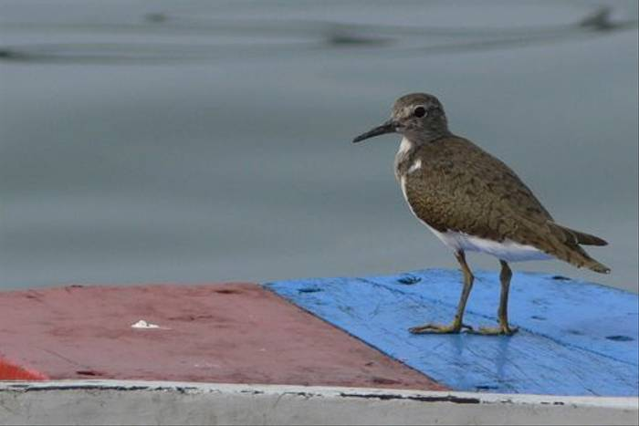 Common Sandpiper (Tim Melling)