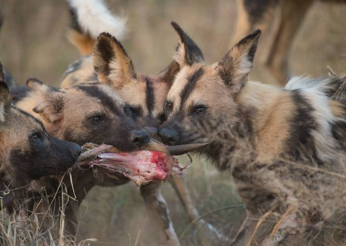 African Wild Dogs (Jonathan Lewis)