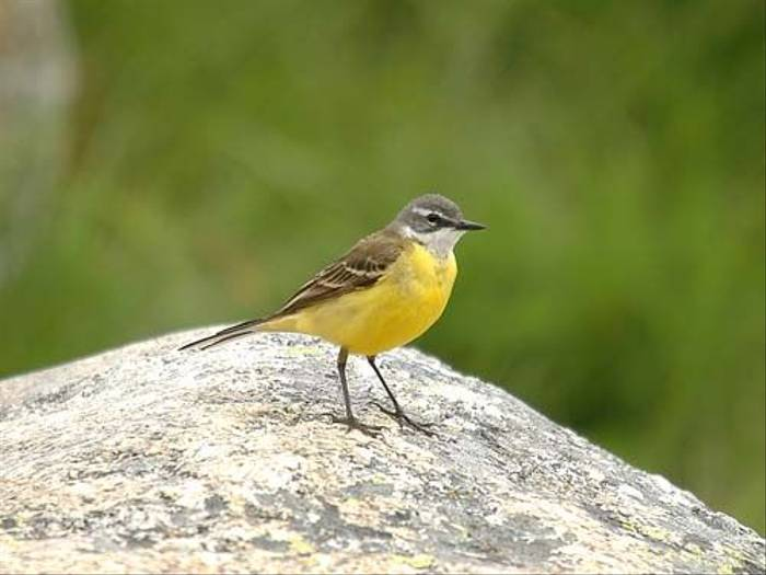 Yellow Wagtail (David Morris)