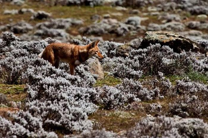 Ethiopian Wolf by Dani Free