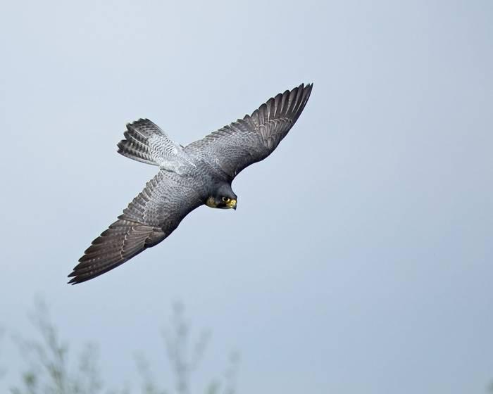 Peregrine Falcon. Shutterstock 52662304