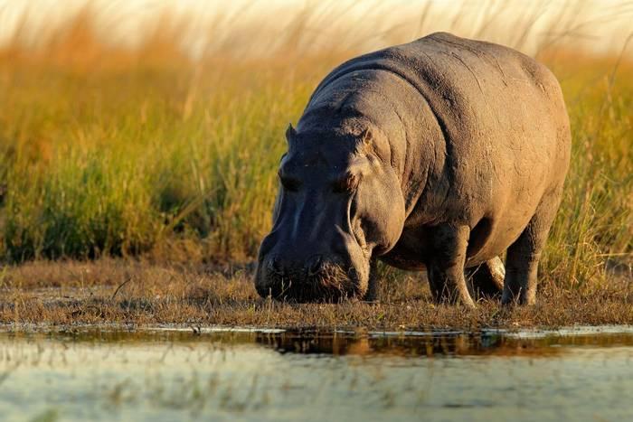 African Hippo shutterstock_550109842.jpg