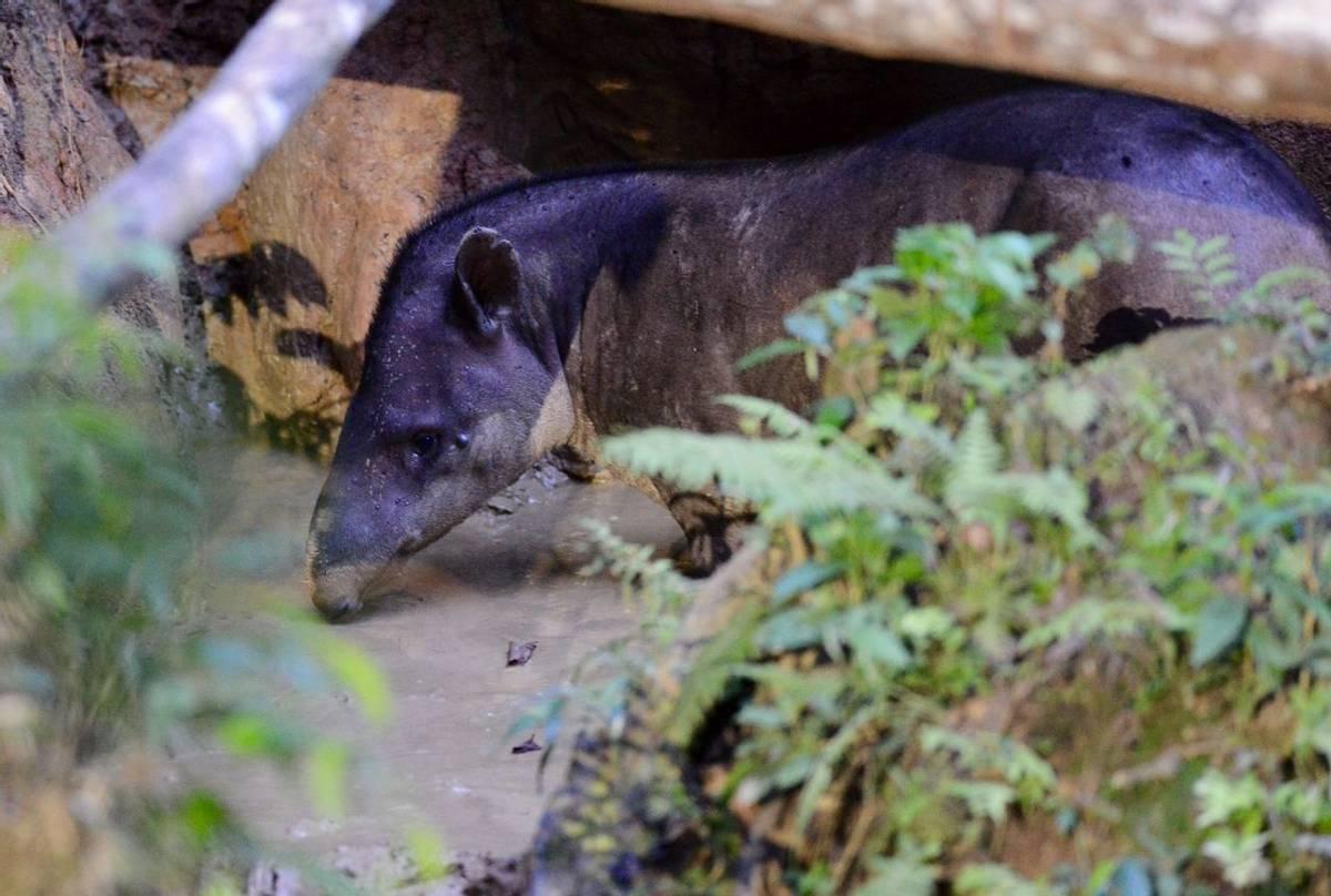 Brazilian Tapir (Stephen Woodham)