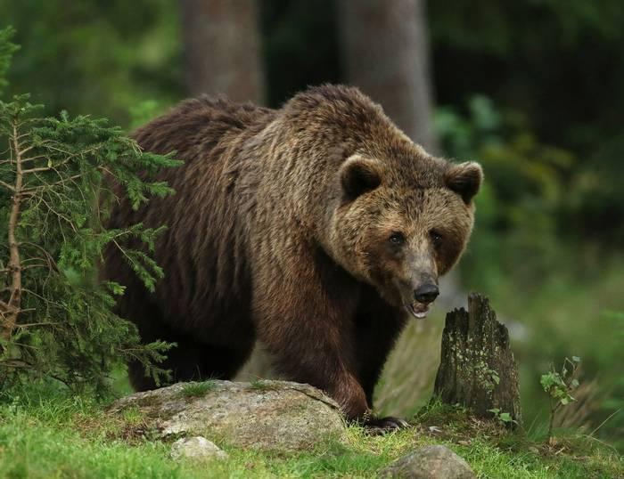 Brown Bear (Jonathan Mercer)