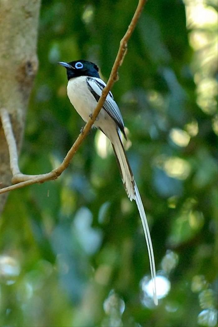 Madagascar Paradise Flycatcher (Cathy Harlow)