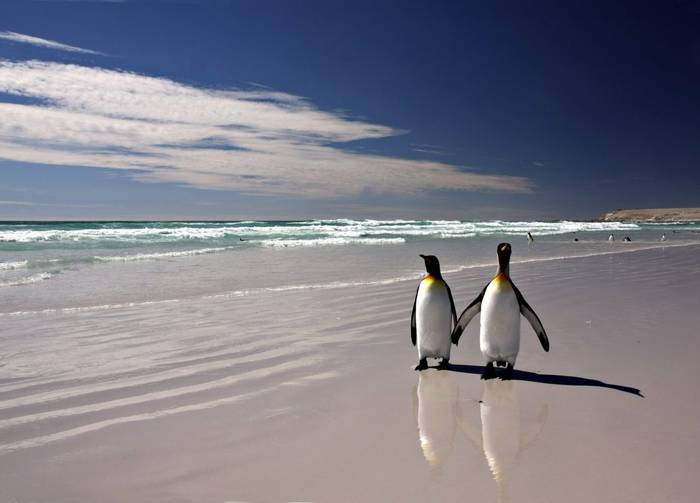 King Penguins. Falklands. Shutterstock..jpg