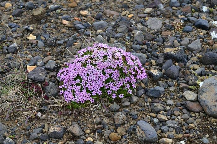 Moss Campion by D Phillips