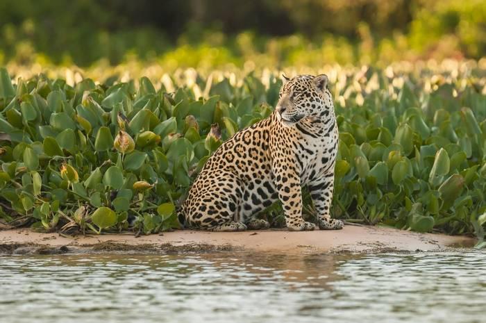 Jaguar In Pantanal. Shutterstock 209804161