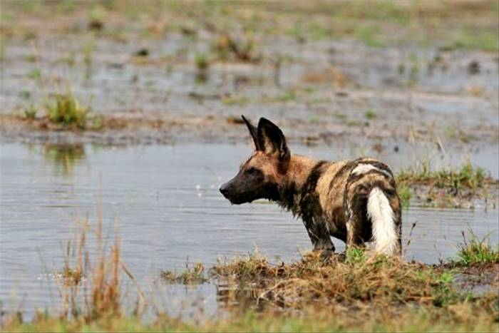 African Wild Dog (Grant Atkinson)