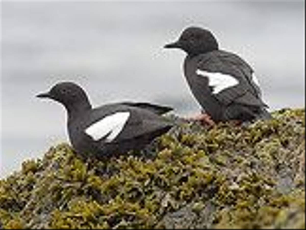 Pigeon Guillemots (Paul Marshall)