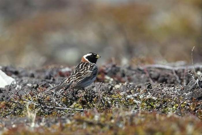 Lapland Bunting (Gordon Small)
