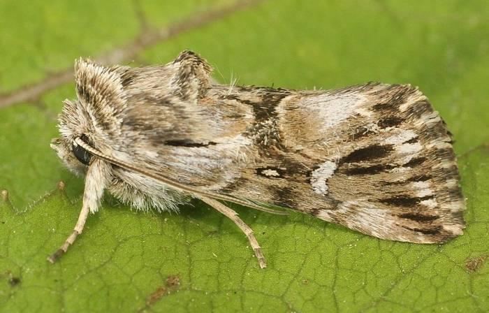 Calophasia lunula  - Toadflax Brocade Moth (Alan Outen)