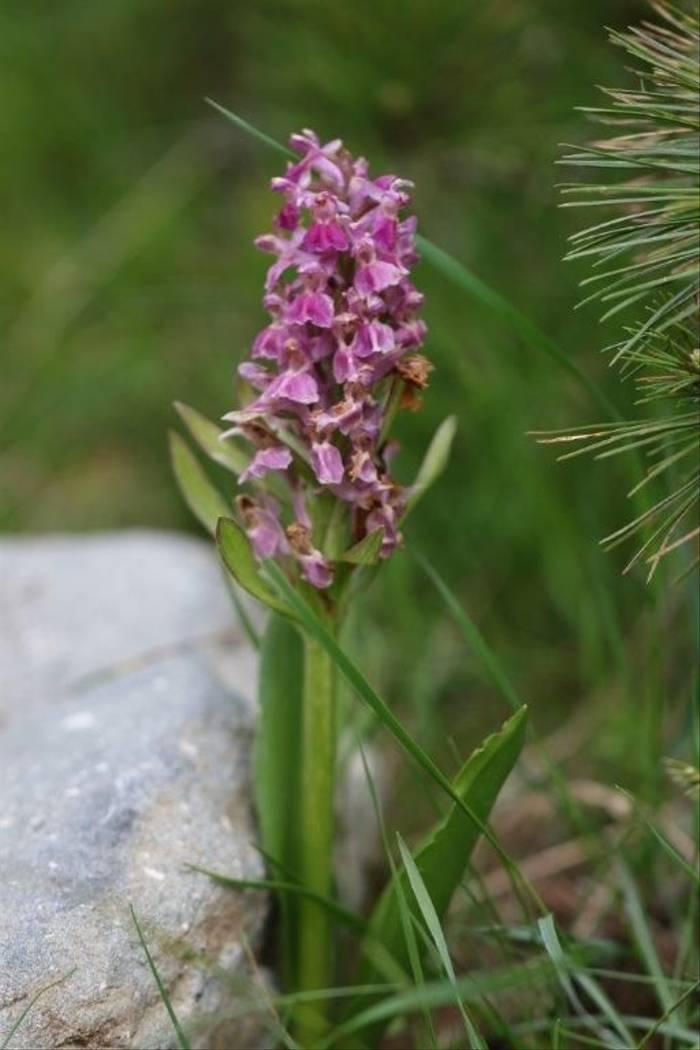 Orchid (Gerald Broddelez)