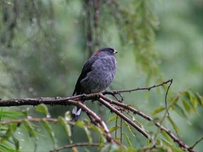 Red-crested Cotinga (Byron Palacios)
