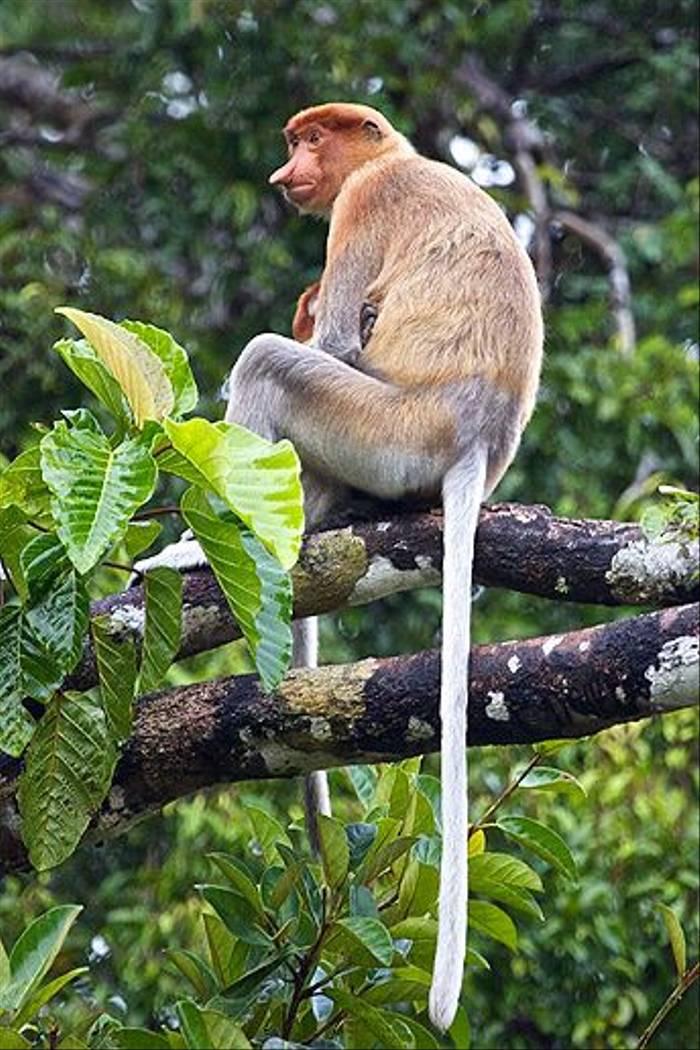 Female Probiscis Monkey (Dani Free)