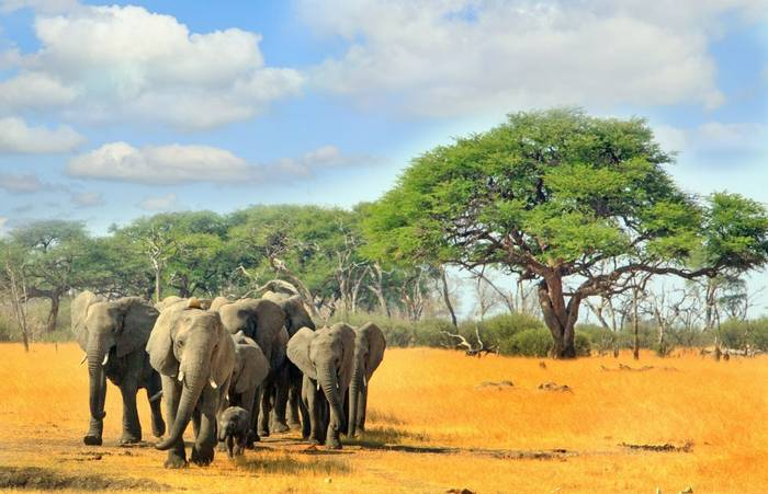 Hered of Elephants, Hwange national park, Zimbabwe, Southern Africa shutterstock_518970040.jpg