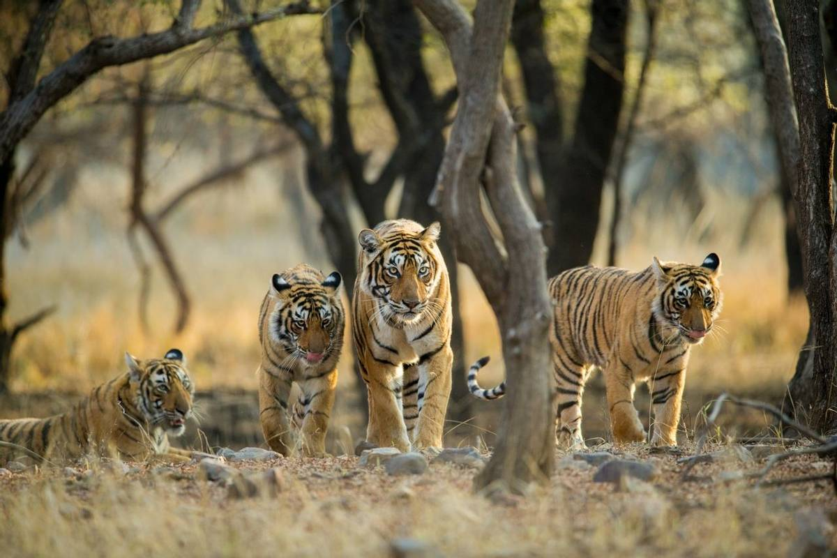 Tigers Tiger Shutterstock 775382149