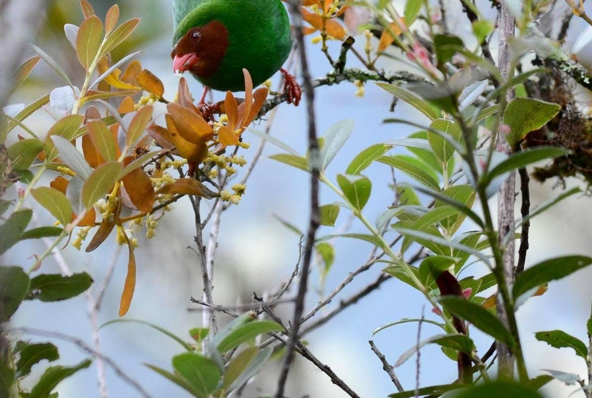 Grass Green Tanager (Stephen Woodham)