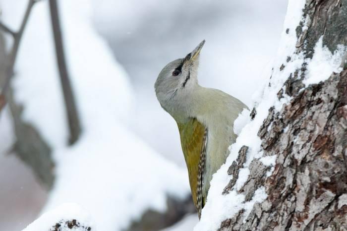 Grey Headed Woodpecker Shutterstock 688917268