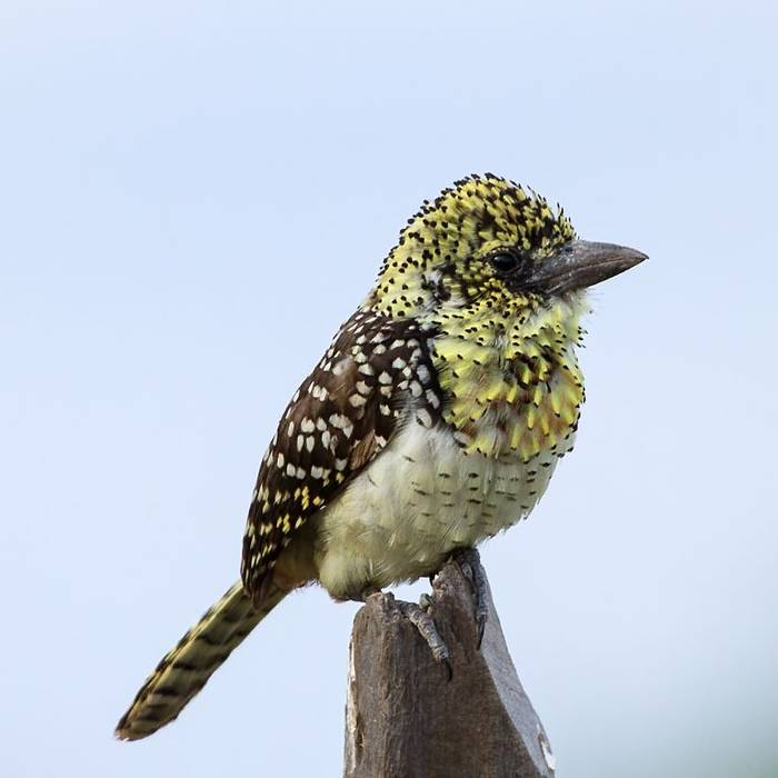 Usambiro Barbet (Colin Brown)