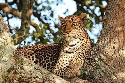 Leopard by Bret Charman