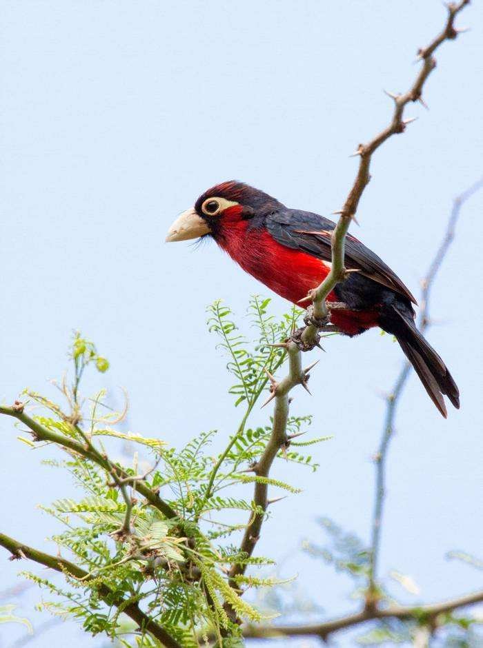 Double Toothed Barbet Shutterstock 1006118314
