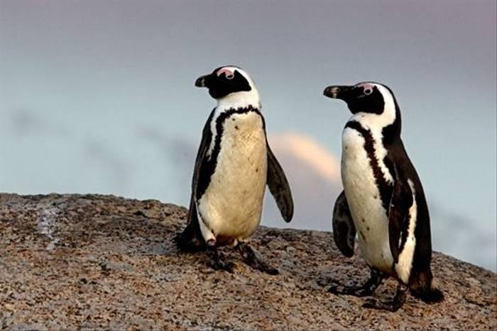 African Penguins, Boulders Beach (Ann Chase)