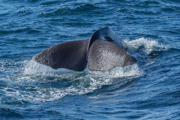 Sperm Whale fluking (Malcolm Stott)