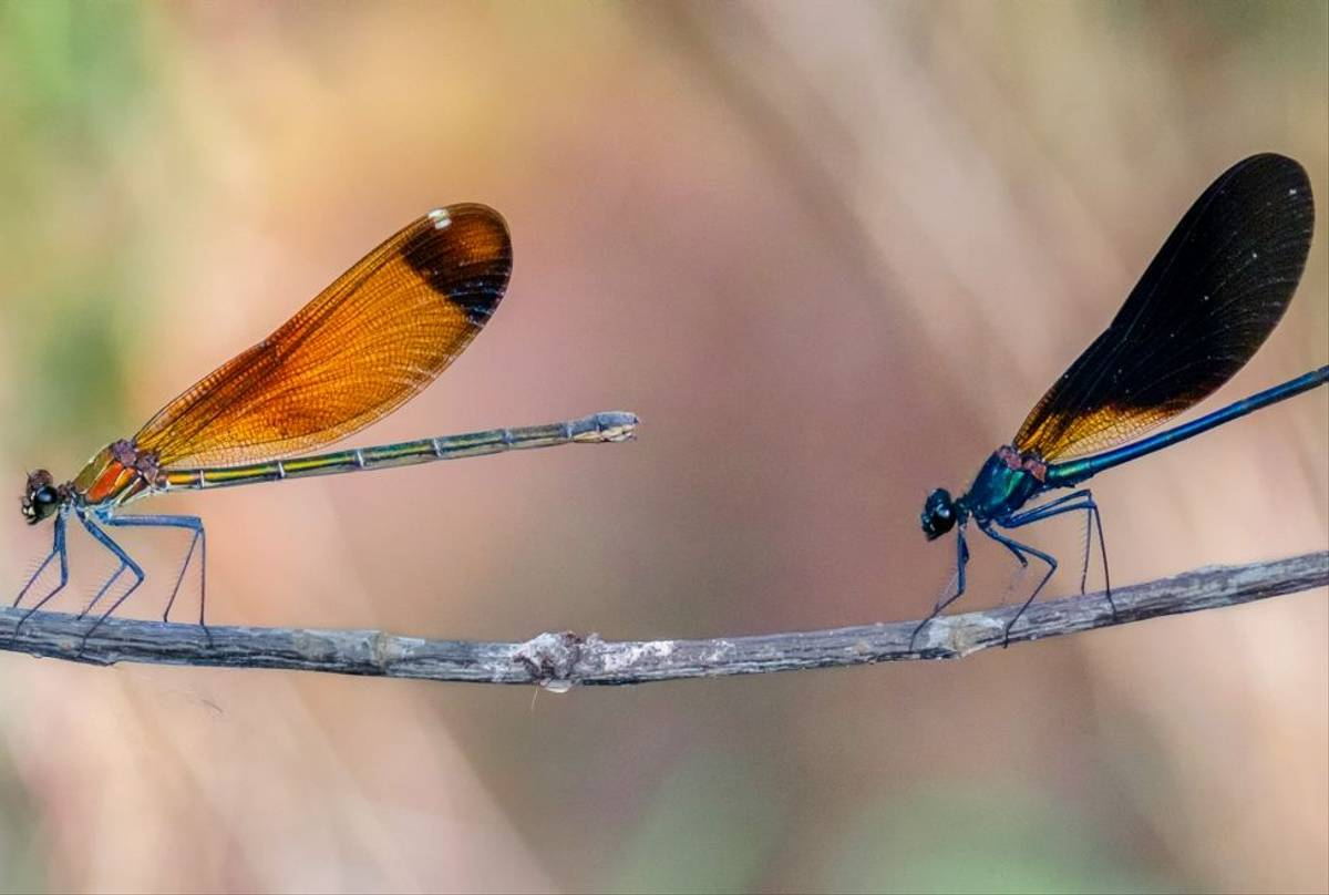 Copper Demoiselles (Calopterix haemorrhoidalis) Ann Miles