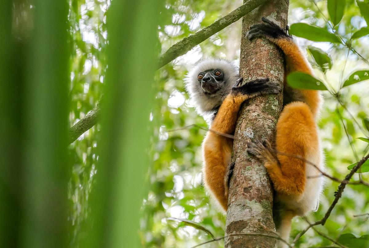 Diademed-Sifaka,-Madagascar-shutterstock_1192179160.jpg