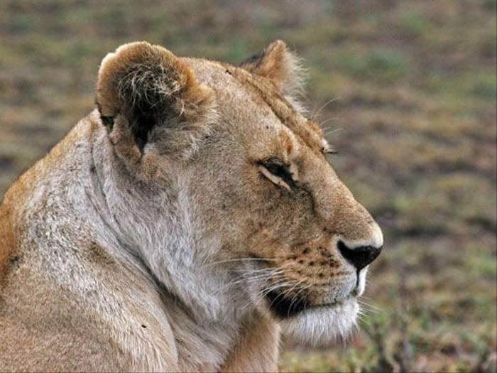 Lioness (Barbara Sumner)