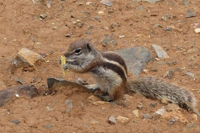 Barbary Ground Squirrel (Paul Harmes)