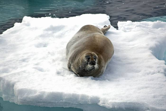 Bearded Seal (Robin Couchman)