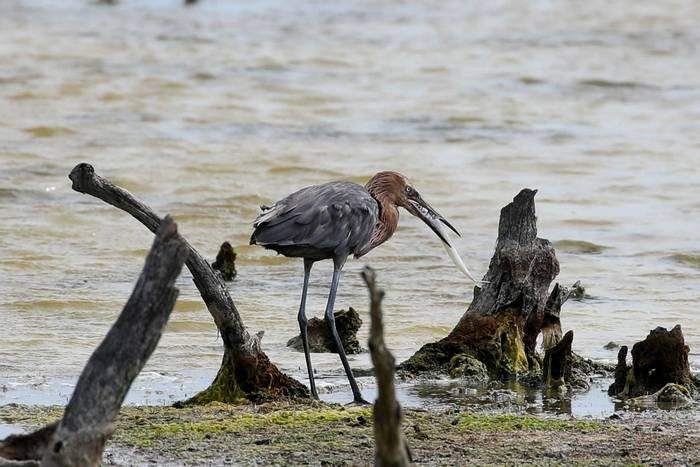 Reddish Egret (Clive Manvell).JPG