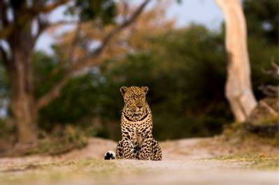 Leopard by Letaka Safaris