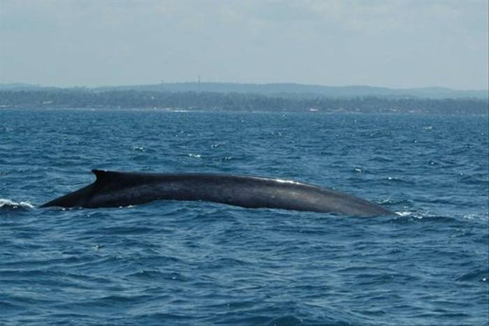 Blue Whale off Mirissa