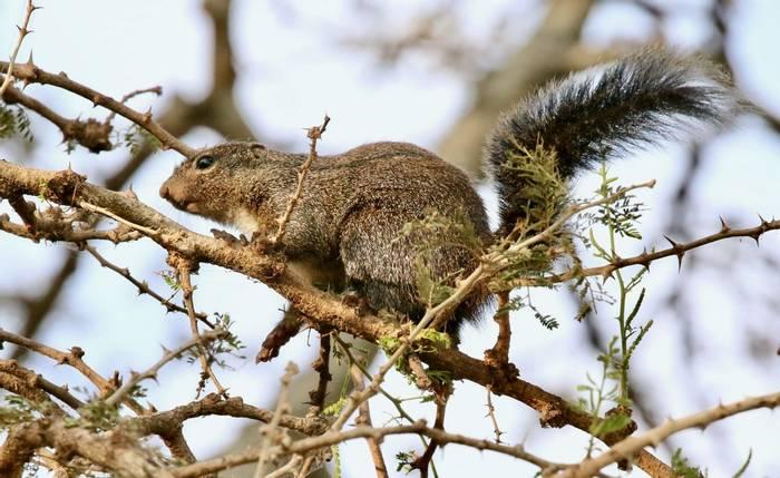 Gambian Sun Squirrel.jpeg