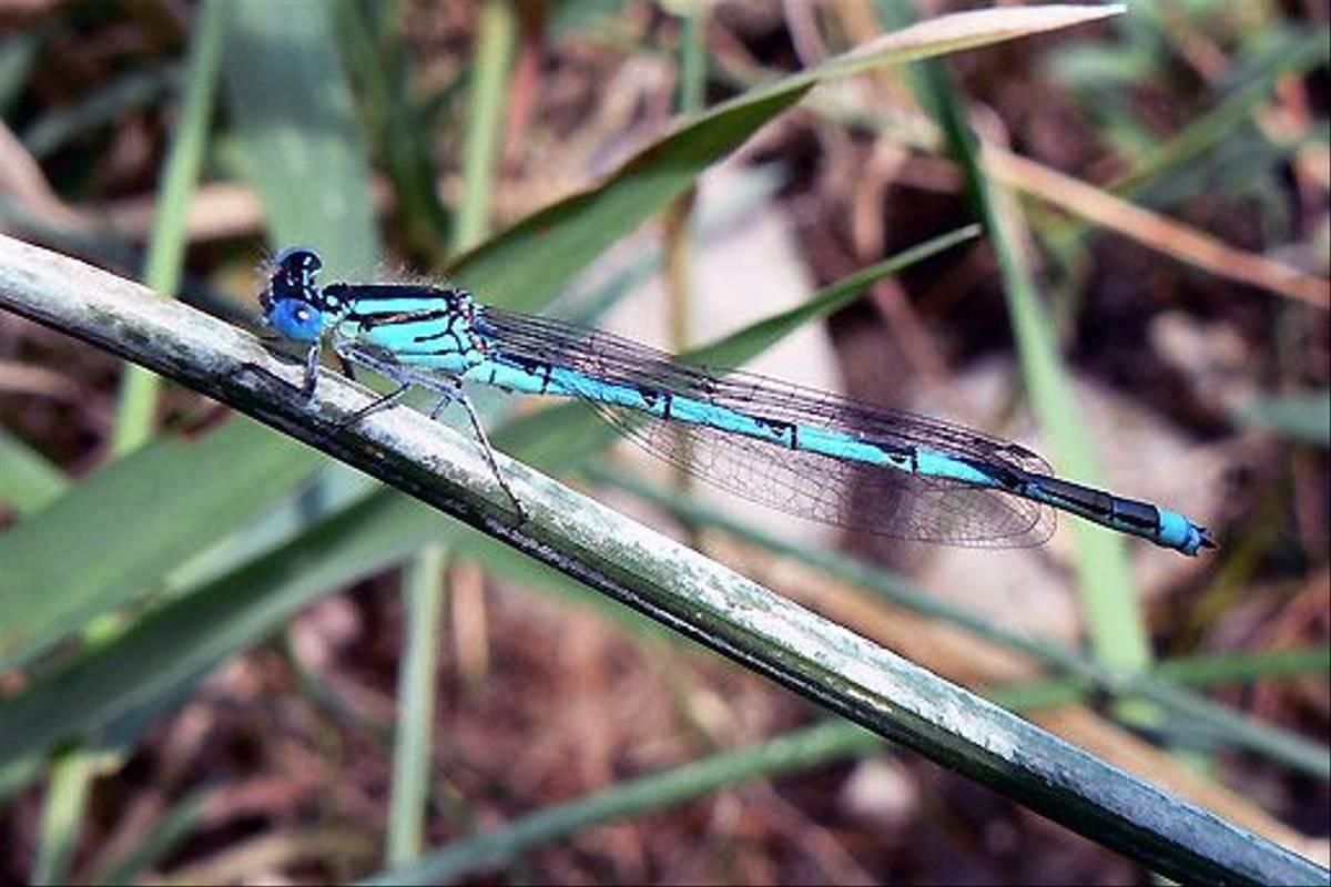 Blue eye Erythromma lindenii m (Dave Smallshire)