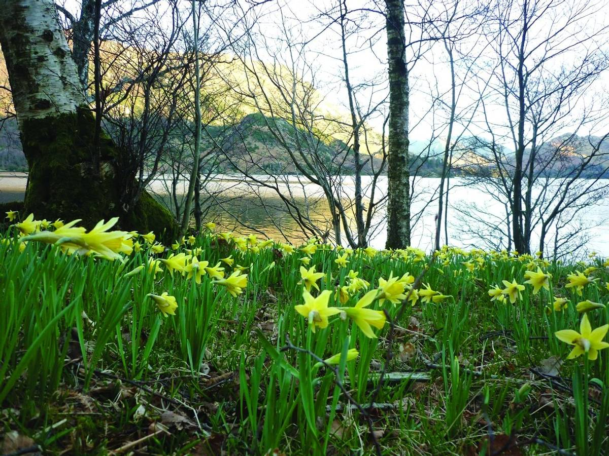 Derwent Bank Daffodils Glencoyne Bay.jpg