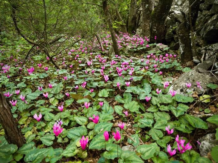 Spring Cyclamen, Croatia Shutterstock 639423973