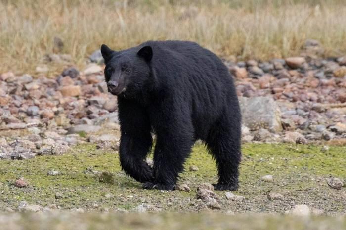 Black Bear, Tofino (Chris Hutchinson)