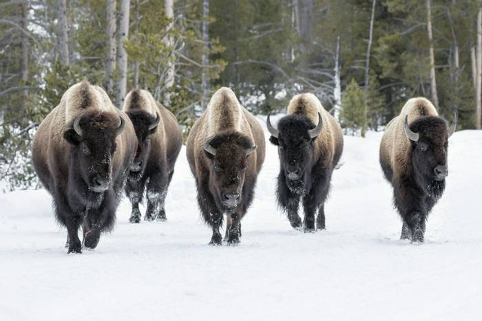 Bison, Yellowstone shutterstock_265898978.jpg